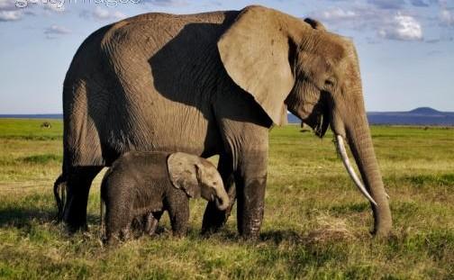 世界陆地上最大的动物是谁呢?是非洲大象