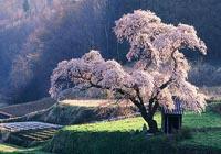 【草原+樱花】6万亩草原 千亩樱花 南国净土 遗落在人间的童话世界!美到落泪!